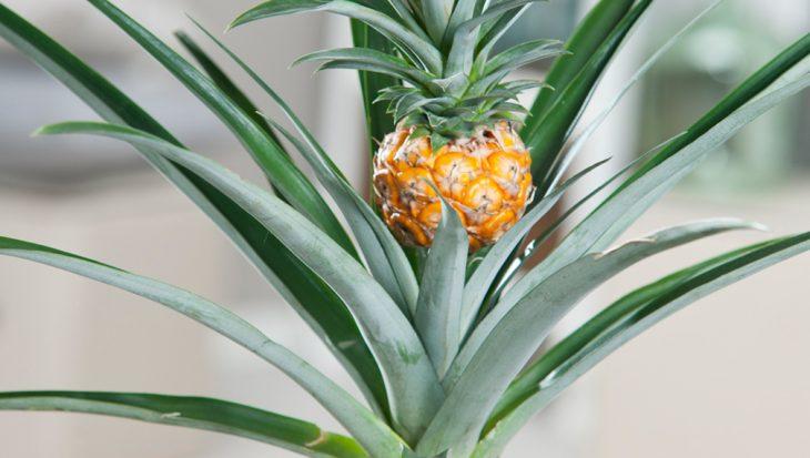Ananas kweken