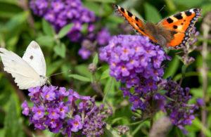 Beplantingsplan natuurlijke tuin vlinderstruik