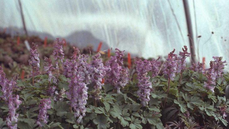 Corydalis Solida Vingerhelmbloem