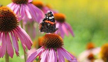 Planten voor vlinders en bijen in je tuin