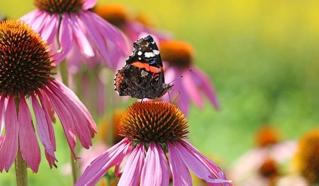 Planten voor vlinders en bijen