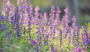 Salvia salie plant